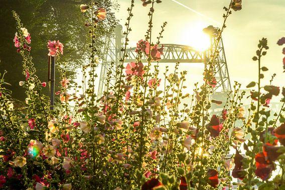 Stokrozen voor De Hef in Rotterdam van Michel van Kooten