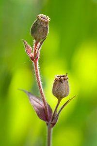 Zaaddoosjes koekoeksbloem (Lychnis)