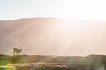 Rentiere in der Morgensonne. von Axel Weidner