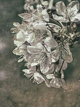 Ressort  - Cherry bloosom sur Christine Nöhmeier