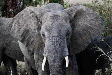 Afrikanischer Elefant in freier Wildbahn - Tansania von Charrel Jalving