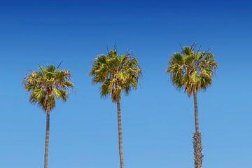 Prachtige palmbomen van