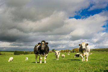 Koeien in het weiland van Nick van Dijk