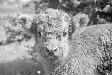 Gesicht eines schottischen Highlander-Kalbs in Schwarz und Weiß von Tina Linssen