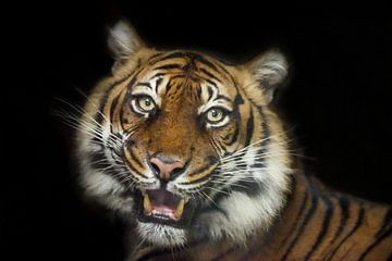 Tiger-Alarm. von Tanja Otten Fotografie