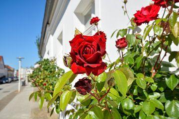 Ingrid Bergman - Rote Hochstammrosen in der August-Bebel Straße von GH Foto & Artdesign
