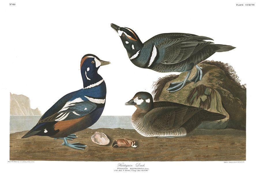 Harlekijneend van Birds of America