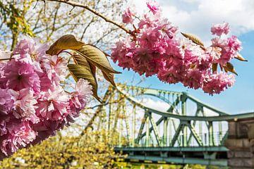 Kirschblüten mit Glienicker Brücke von Frank Herrmann