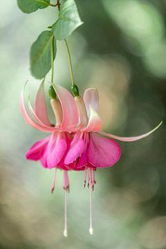 Fleur de fuchsia sur Ellen Driesse
