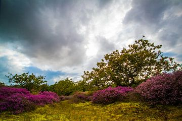Bloeiende Heide 7 van Peter Heins