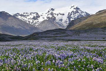 Lupinenblau in Island von Susan Dekker