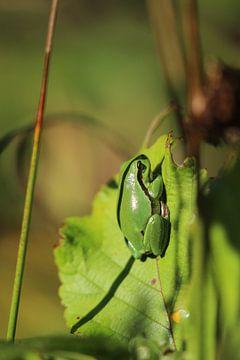 Grüner Baumfrosch auf Blatt von Eline Lohman