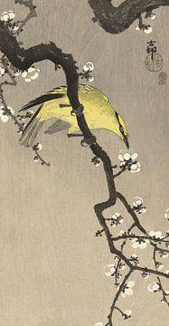 Chinesischer Goldamsel auf Pflaumenblütenzweig, Ohara Koson - ca. 1900