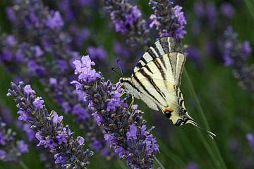 Koningspage vlinder sur Antwan Janssen
