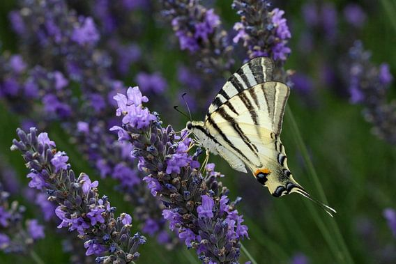 Koningspage vlinder van Antwan Janssen
