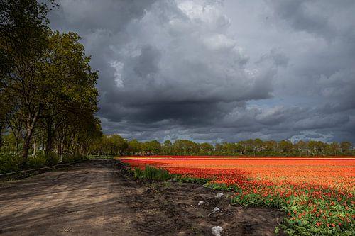 Dreigende wolkenlucht boven tulpenveld