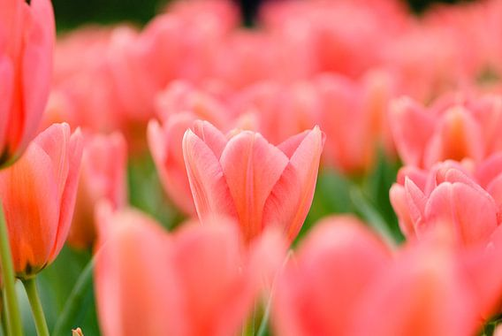 Roze tulpen van Martin Stevens