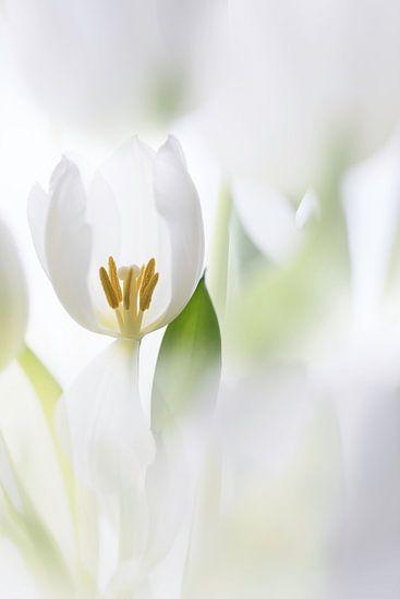 Tulpen van Vandain Fotografie