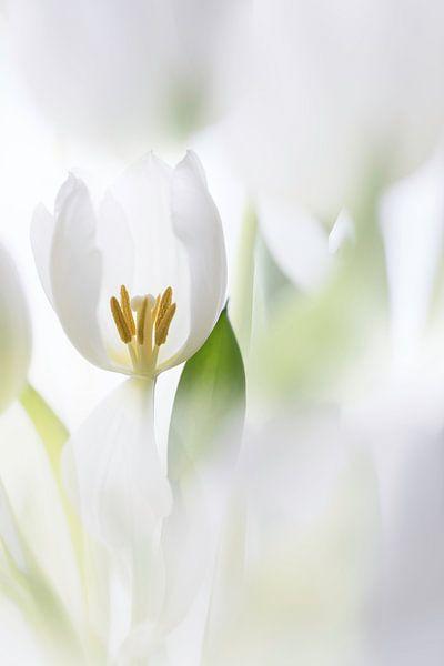 Tulpen van Ingrid Van Damme fotografie