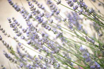 Lavendel van Tess Smethurst-Oostvogel