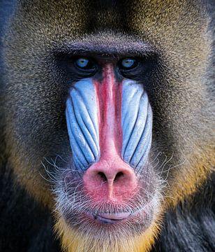 Mandril aap met mooie kleuren van Karin vd Waal