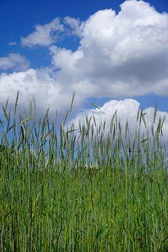 Graan tegen een half bewolkte lucht van Folkert Jan Wijnstra