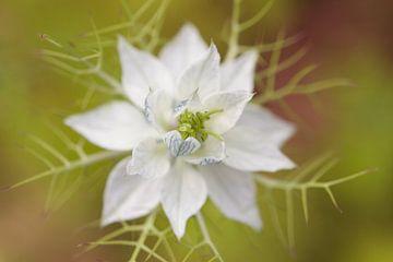 Persisches Juwel 'Weiß von Dagmar Hijmans