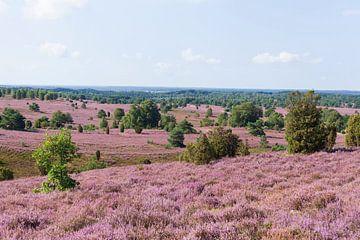 Heidelandschap met heidebloesem, Wilseder Berg, Wilsede, Natuurpark Lüneburger Heide, Nedersaksen, D van Torsten Krüger