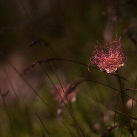 Wilde bloem, apache plume, Fallugia Paradoxa van Joske Kempink