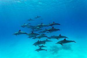 Spinner Dolphins van Norbert Probst