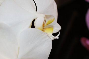 Prachtige Witte Orchidee van Mickey Tromp