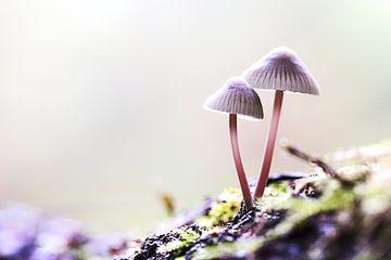 Mycena's in het bos van Frouwkje Fotografie