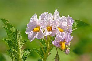 Kartoffelblüte von Hans-Jürgen Janda