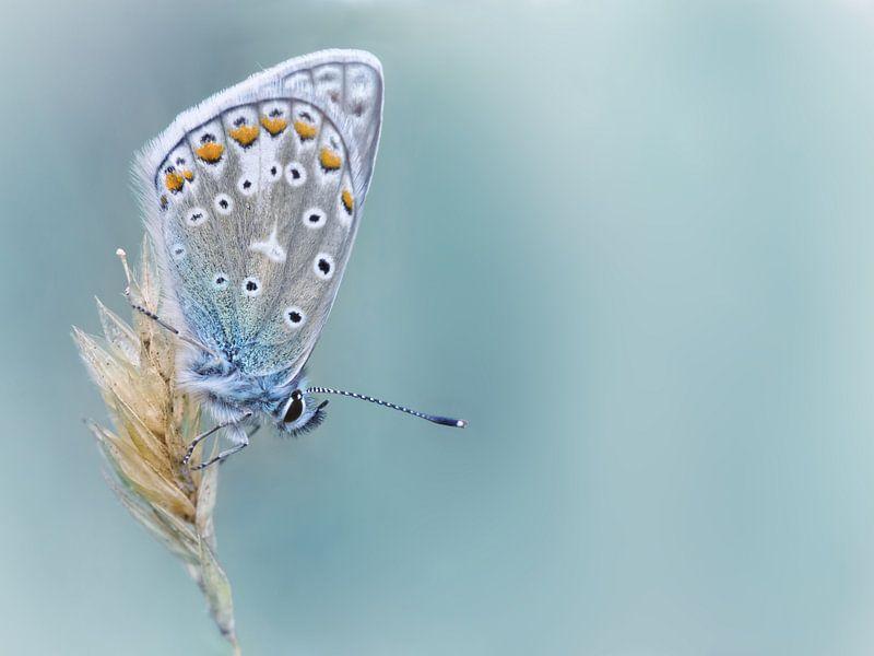 Kind of Blue ... (Vlinder, Zomer, Blauw) van Bob Daalder