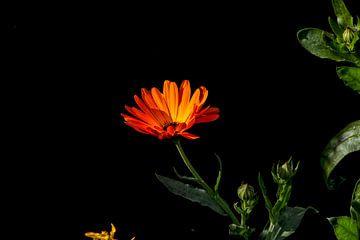 Blume von Henk bohmers