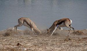 Springbok Battle