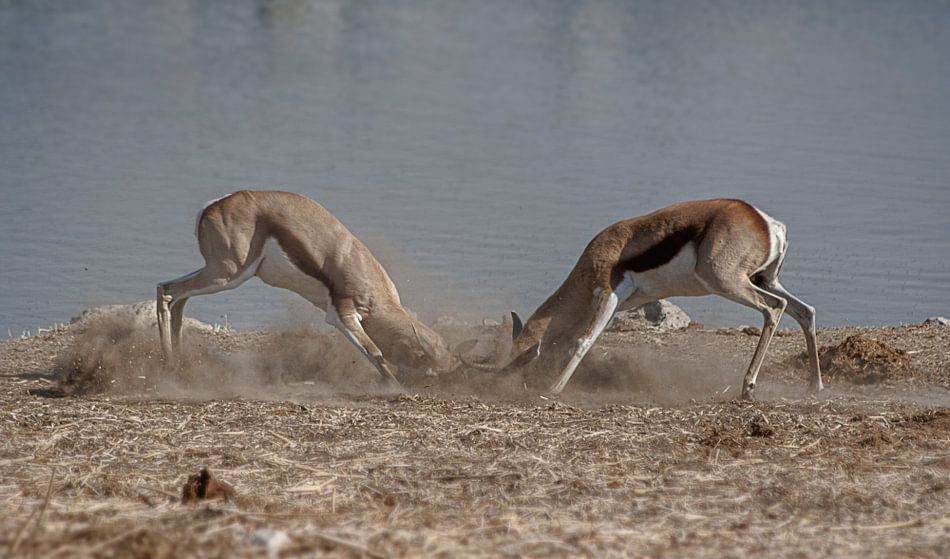 Springbok Battle van BL Photography