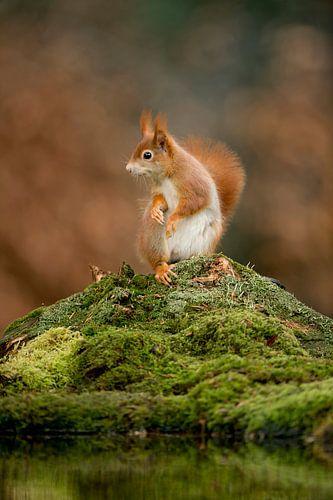 verbaasde eekhoorn van
