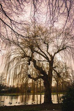 Treurwilg aan de rand van de vijver in het stadspark in wintertijd van Henk Hulshof