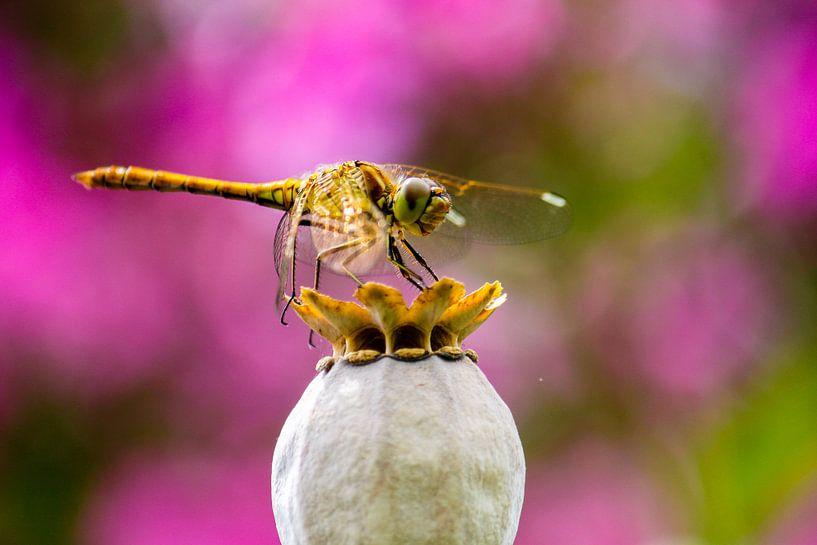 Libelle op bloem van Eveline Dekkers