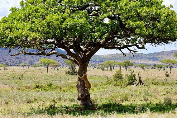 Boomklimmende leeuw in de Serengeti