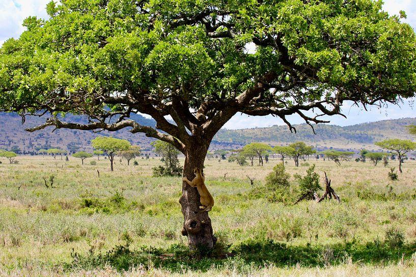 Boomklimmende leeuw in de Serengeti van Daphne de Vries
