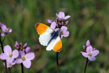 Aurora vlinder zittend op weideschuim wiet van Anja Uhlemeyer-Wrona