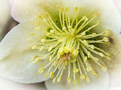 Dauwdruppels op de meeldraden van de witte winterroos
