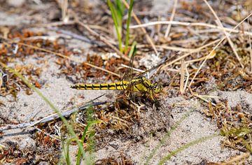 Libelle in der Düne von Merijn Loch