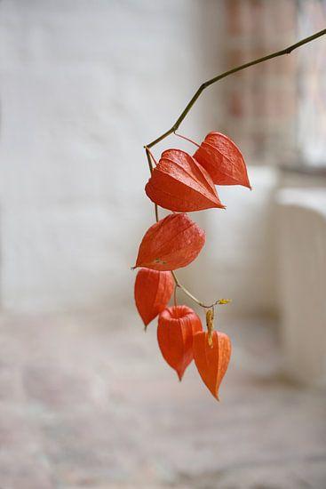 Chinese Lantaarn (Physalis alkekengi), een tak met oranje schillen als decoratie in een oud rustiek