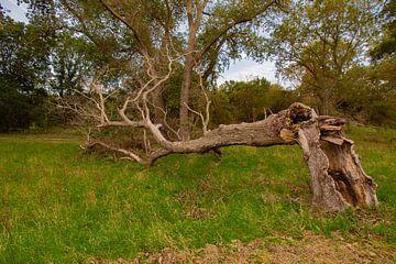 Een karakteristieke, alleenstaande, omgevallen en gebroken boom. van Cuci