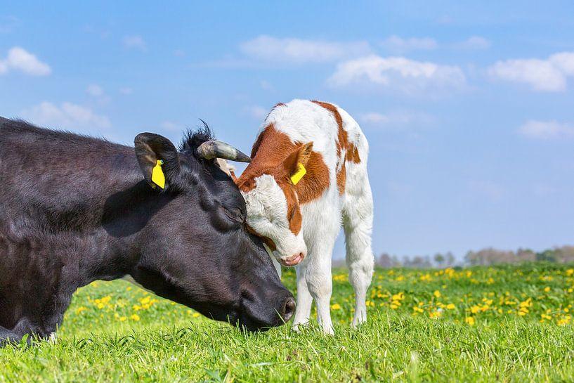 Kuh und neugeborenes Kalb in der grünen niederländischen Wiese mit Löwenzahn von Ben Schonewille