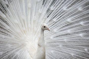 Witte pauw in zijn bruidskleed van W J Kok