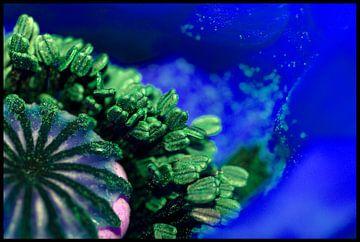 Onderwater Papaver in Blauw van Dirk Huijssoon